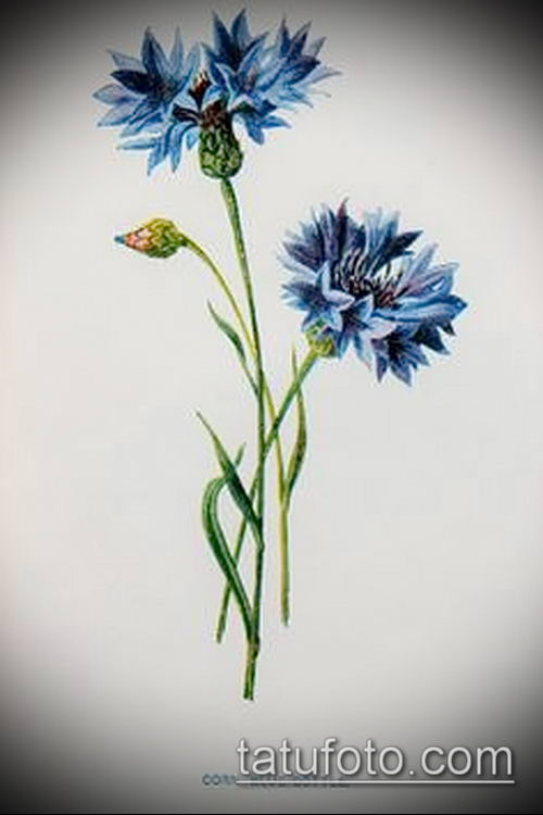 фото тату василек (cornflower tattoo) (значение) - пример рисунка - 016 tatufoto.com