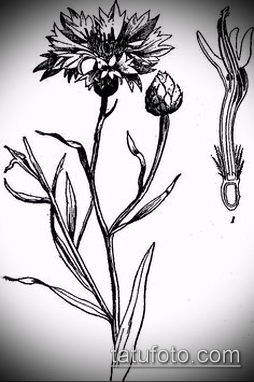 фото тату василек (cornflower tattoo) (значение) - пример рисунка - 026 tatufoto.com