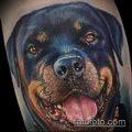 Фото тату ротвейлер - 06062017 - пример - 085 Rottweiler tattoo