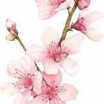 фото Эскизы тату Сакура от 27.01.2018 №041 - Sketches of Sakura tattoo - tatufoto.com