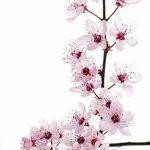 фото Эскизы тату Сакура от 27.01.2018 №042 - Sketches of Sakura tattoo - tatufoto.com