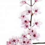 фото Эскизы тату Сакура от 27.01.2018 №051 - Sketches of Sakura tattoo - tatufoto.com