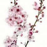 фото Эскизы тату Сакура от 27.01.2018 №104 - Sketches of Sakura tattoo - tatufoto.com