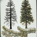 фото Эскизы тату ель от 23.04.2018 №025 - Sketches of a tattoo spruce - tatufoto.com