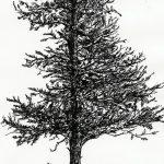 фото Эскизы тату ель от 23.04.2018 №059 - Sketches of a tattoo spruce - tatufoto.com