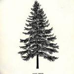 фото Эскизы тату ель от 23.04.2018 №064 - Sketches of a tattoo spruce - tatufoto.com