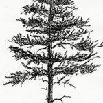 фото Эскизы тату ель от 23.04.2018 №078 - Sketches of a tattoo spruce - tatufoto.com