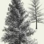 фото Эскизы тату ель от 23.04.2018 №123 - Sketches of a tattoo spruce - tatufoto.com