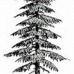фото Эскизы тату ель от 23.04.2018 №136 - Sketches of a tattoo spruce - tatufoto.com