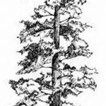 фото Эскизы тату ель от 23.04.2018 №137 - Sketches of a tattoo spruce - tatufoto.com
