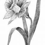 фото Эскизы тату нарцисс от 18.04.2018 №004 - Sketches of daffodil - tatufoto.com