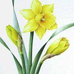 фото Эскизы тату нарцисс от 18.04.2018 №019 - Sketches of daffodil - tatufoto.com