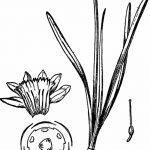 фото Эскизы тату нарцисс от 18.04.2018 №035 - Sketches of daffodil - tatufoto.com