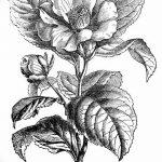 Фото эскизы тату камелия от 18.09.2018 №014 - sketches of camellia tattoos - tatufoto.com