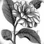 Фото эскизы тату камелия от 18.09.2018 №029 - sketches of camellia tattoos - tatufoto.com