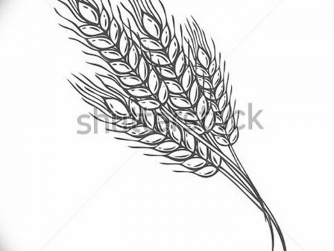 Фото эскиз для тату колос пшеницы 23.10.2018 №161 - wheat tattoo sketch - tatufoto.com