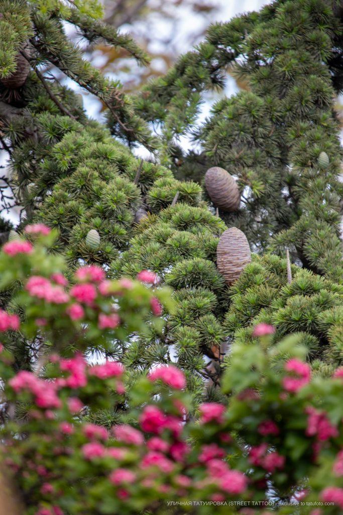 Фото цветущего дерева на фоне хвойного растения с шишками – 09.05.2020 - Уличная татуировка (Street tattoo) – tatufoto.com 1